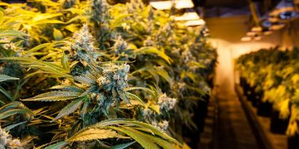 consequences for immigrants participating in marijuana agriculture, use, investment
