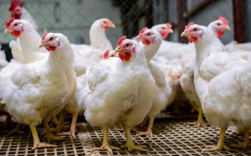 """""""Big Poultry"""" Producer Pleads Guilty to Price Fixing"""