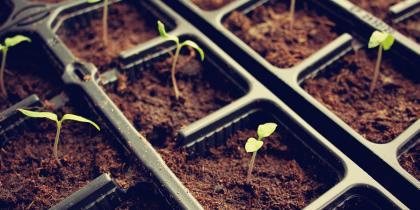 seedlings, GMO